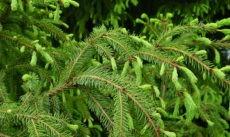Новгородская область заготовит более 20 тысяч елок в этом году
